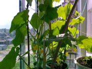 Как выращивать огурцы на лоджии